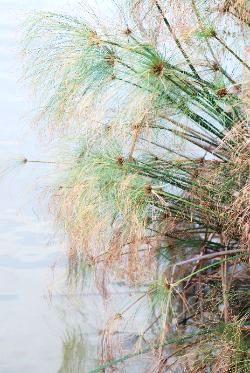 גומא Cyperus, צמחי מים, ליקוט