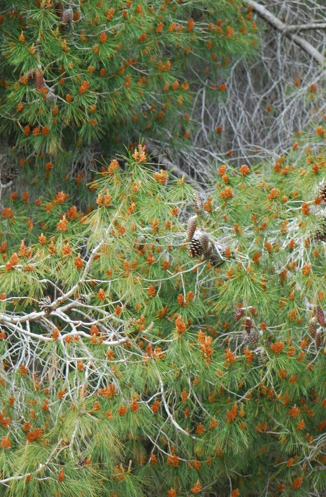 אורן הצנובר - צמחי ישראל, צמחי בר נאכליPinus pinea