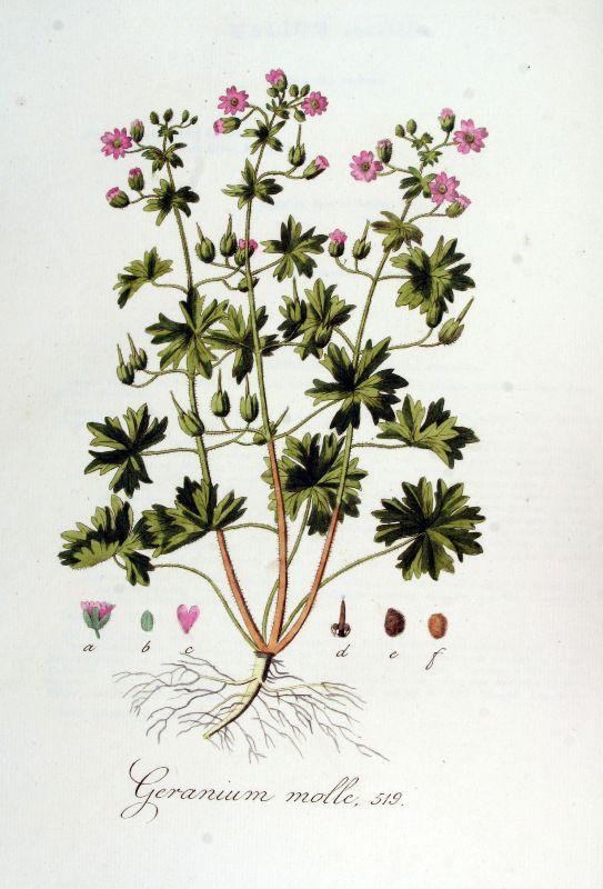גרניון רך Geranium molle, ליקוט צמחי בר