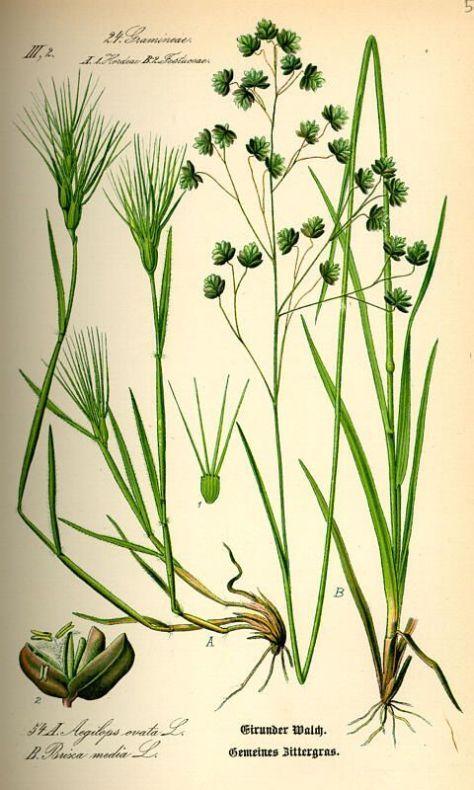 בן חיטה ביצני Aegilops geniculata ליקוט צמחי בר