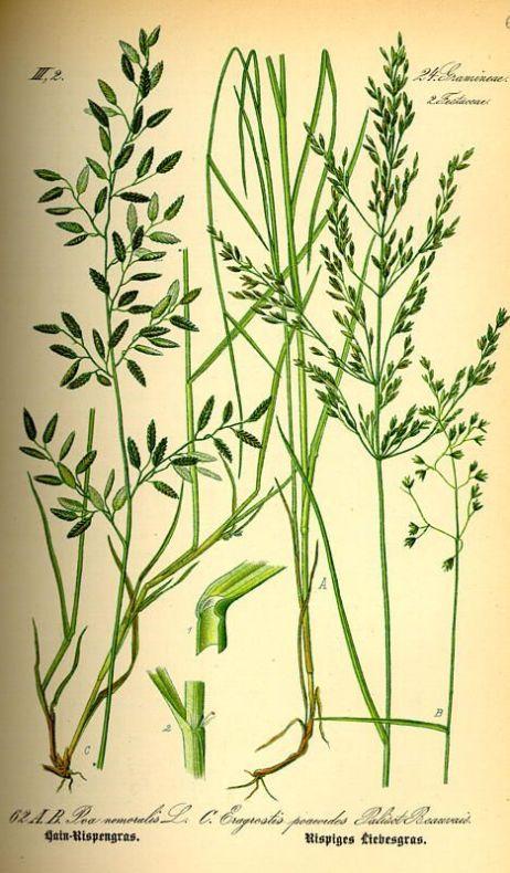 בן חילף טף Eragrostis tef ליקוט צמחי בר