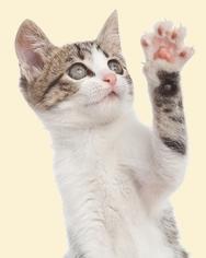 כיסוי ציפורניים לחתולים
