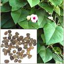 Hawaiian Baby Woodrose - Madagascar