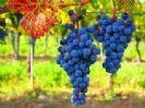 פסטיבל הבציר בגנים הבוטניים - Festival of the Grape Harvest