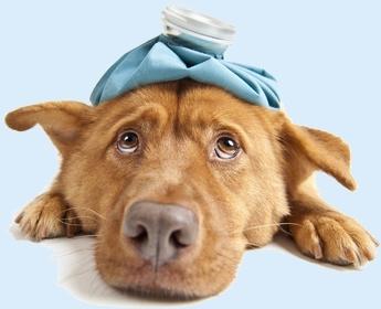 כלב חולה עם פיותורקס