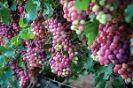 ענבי טלי: משיקים את הענבים של קיץ 2017