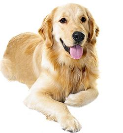 חיסוני כלבים