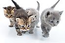מה משמעות צבע הפרווה של חתול?