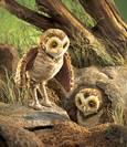 FOLKMANIS ינשוף המחילות 2578  Burrowing Owl