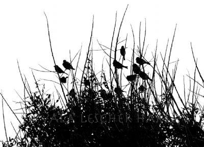 ציפורים מקננות