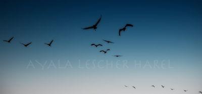 ציפורים נודדות