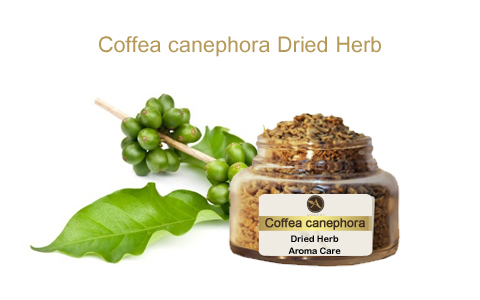 צמח מרפא קפה ירוק