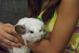 טיפול בעזרת בעלי חיים ילדה מחזיקה צ'ינצ'יל