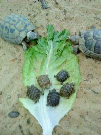 צבים אוכלים חסה פינת חי לטיפול בעזרת בעל חיים