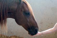 טיפול באמצעות סוסים ילדה מאכילה סוס