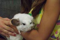 ילדה מלטפת צ''ינצ''ילה - בתרפיה באמצעות בעלי חיים