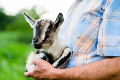 בחור מחזיק גדי בטיפול באמצעות בעלי חיים