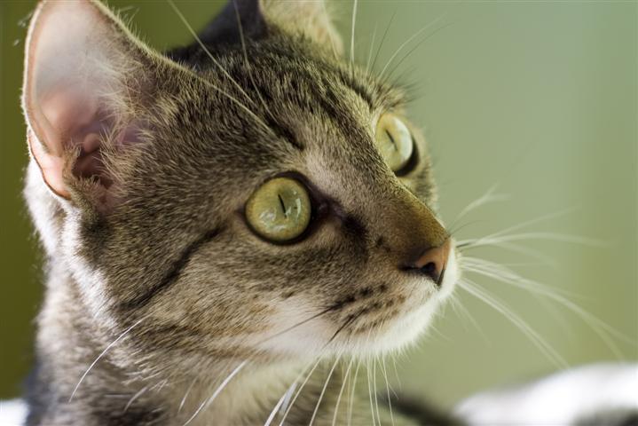 מחלות של חתולים