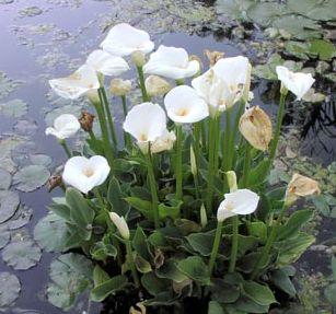 צמחים לבריכות נוי - קלה