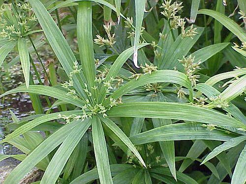 צמחים נמוכים לבריכות נוי - גומא