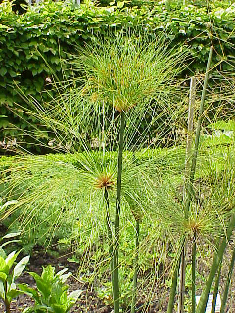 צמחים גבוהים לבריכות נוי - גומא פפירוס
