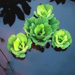 צמחים צפים לבריכת נוי - חסת מים