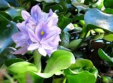 צמח מים לבריכת נוי - ינקינטון