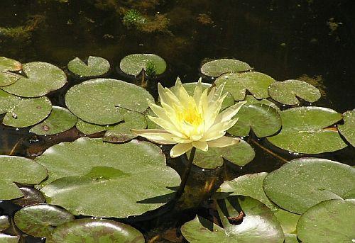 שושנות מים לבריכת נוי - נימפאה צהובה