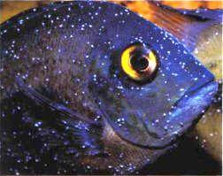 מחלת נקודות לבנות בדגים