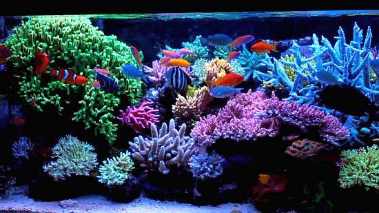 אלמוגים חיים באקווריום ריף