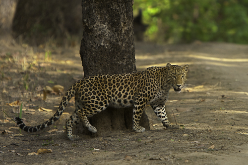 פארק לאומי קנהה - Kanha National Park