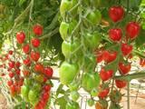 """מו""""פ יאיר: מזני העגבניות"""