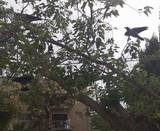 דחלילי עורבים על עץ ל- הרחקת יונים