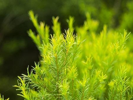 שמן עץ התה  TEA TREE/ MELALERC ALTERNIFOLIA
