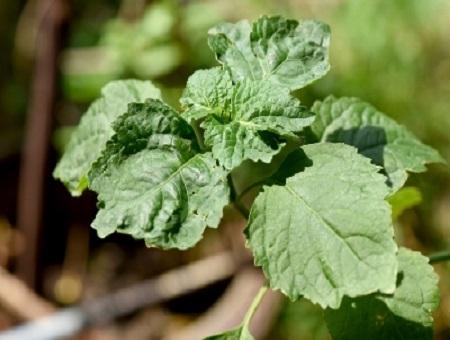 שמן פצ'ולי (מנטה הודית)  PATCHOULI/ POGOSTEMON CABLIN