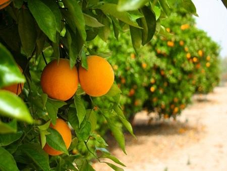 שמן תפוז  ORANGE/ CITRUS SINENSIS