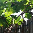 גפן היין - Vitis vinifera