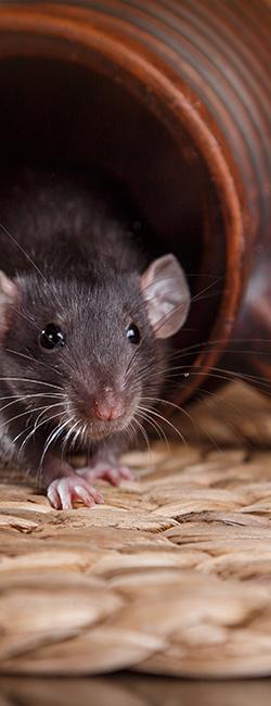 הדברה אלקטרונית עכברים