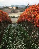כרם באומבריה (צילום: עודד קסטלנובו)
