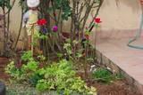 כלניות בקצה המדשאה - תענוג חורפי