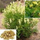 אסטרגלוס | קדד קרומי | שורש פרוס | 100 גרם | Astragalus membranaceus