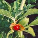 ויתניה משכרת | 100גרם | Withania somnifera | Ashwagandha