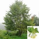 טיליה | תרזה | פרחים | 100 גרם | Tilia europea | Lime flowers
