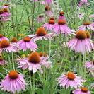 אכינצאה | קיפודנית | תערובת 3 שורשים | 50 גרם | Echinacea spp. | Coneflower