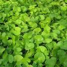 גוטו קולה | ספלילה | עלים | 100 גרם | Hydrocotyl (Centella) asiatica | Gotu kola
