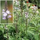 ורבנה רפואית | כל הצמח גרוס | 100 גרם | Verbena officinalis | Vervain