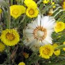 טוסילגו פרפרה | פרחים | 100 גרם | Tussilago farfara | Coltsfoot