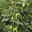 כשותית (כשותנית) | פרחים | 100 גרם | Humulus lupulus | Hops