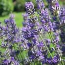 לבנדר | אזוביון | פרחים | 100 גרם | Lavendula officinalis | Lavender