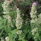 נפית החתולים | עלים | 150 גרם | Nepeta cataria | Catnip